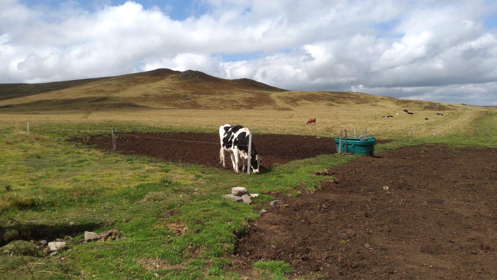 Mucche al pascolo in Alvernia